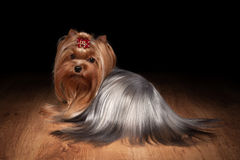 Yorkie puppy on wooden texture. Yorkie puppy on table with wooden texture Stock Images