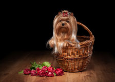 Yorkie puppy on table with wooden texture. With flowers Stock Photography