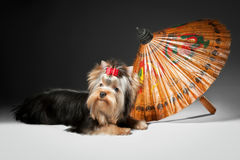 Yorkie puppy with umbrella. On grey gradient background Royalty Free Stock Photography
