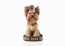 Yorkie puppy on white gradient background Stock Photography