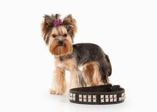 Yorkie puppy on white gradient background Royalty Free Stock Images