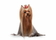 Yorkie puppy on white gradient background royalty free stock photo