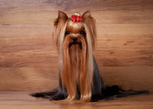 Yorkie puppy on wooden texture. Yorkie puppy on table with wooden texture Stock Photo