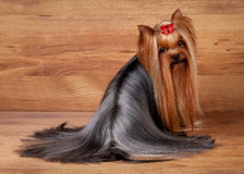 Yorkie puppy on wooden texture Royalty Free Stock Images