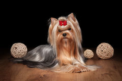 Yorkie puppy on wooden texture. Yorkie puppy on table with wooden texture Royalty Free Stock Photos