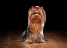 Yorkie puppy on wooden texture. Yorkie puppy on table with wooden texture Royalty Free Stock Image