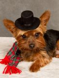 Yorkie in Top Hat Stock Image