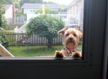 Yorkie que mira a través de puerta Imagen de archivo libre de regalías