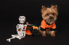Yorkie ready for halloween. Yorkshire terrier dog ready for Halloween Stock Photo