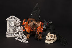 Yorkie ready for halloween Royalty Free Stock Photo