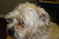 Yorkie shih tzu dog portrait photograph. A shaggy dog that is looking at camera royalty free stock photos