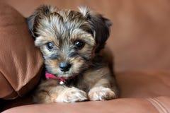 A Yorkie Shih Tzu mixed puppy. An adorable Yorkie and Shih Tzu mixed puppy is sitting on a chair Royalty Free Stock Photos