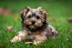 Yorkie and Shih Tzu Mixed Puppy Royalty Free Stock Images