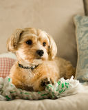 Yorkie and ShiTzu mixed puppy. On sofa Royalty Free Stock Images