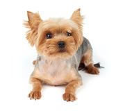 Yorkie with short haircut Stock Images