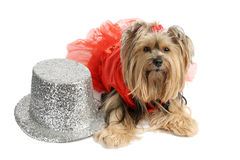 Yorkie Showgirl royalty free stock photos