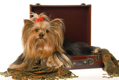 Yorkie sitting inside brown suitcase Stock Photos