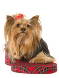 Yorkie sitting inside tartan gift box Stock Photos
