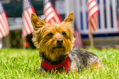 Yorkie Dog Sitting Pretty with American Flags Stock Photography