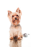 Yorkie sitting on white background Royalty Free Stock Photo