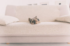 Yorkie on sofa Royalty Free Stock Photography