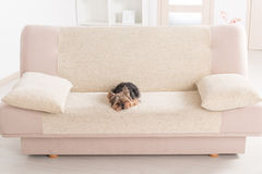 Yorkie on sofa Royalty Free Stock Images