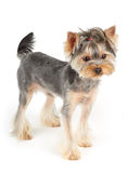 Yorkie stands on white Stock Photo