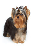 Yorkie with stylish top knot Royalty Free Stock Photography