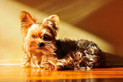 Yorkie in Sun. Yorkshire terrier in sunshine on wooden floor Royalty Free Stock Image
