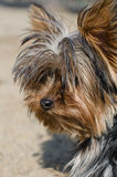 Yorkie terrier. At the beach Stock Image
