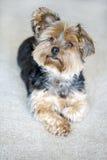 Yorkie terrier Stock Image