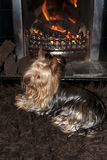 Yorkie terrier relaxing in front of fire Stock Image