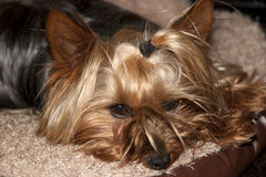 Yorkie terrier resting in its basket Stock Photo