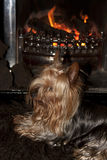 Yorkie terrier sitting in front of fire Stock Images
