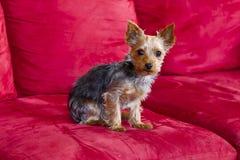Yorkie Terrior Puppy Royalty Free Stock Photo