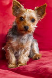 Yorkie Terrior Puppy Stock Images
