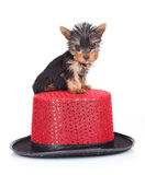 Yorkie toy on a hat Stock Photos