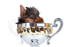 Yorkie toy hidding in a trophy Stock Image