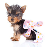 Yorkie toy in a pinky bow royalty free stock photos