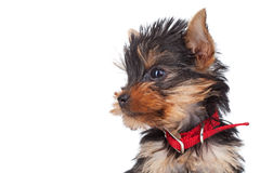 Yorkie toy's head Stock Photography
