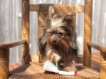 Yorkie turns the page Stock Photos