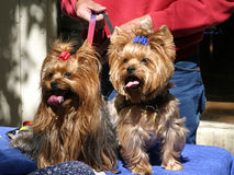 Yorkie Twins Stock Photos