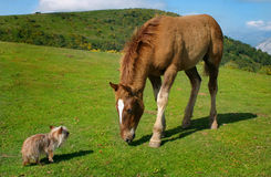 Yorkie vs horse. A very small blond yorkie versus a few months horse in the mountains of Asturias, Spain. A very untypical picture Stock Image