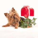 Yorkie waiting for an answer in the mail Stock Photo