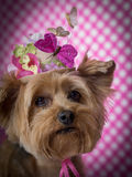 Yorkie Dog wearing flowered top hat. Cute Yorkie wearing top hat with butterflies and flowers with polka dot background royalty free stock photo