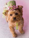 Yorkie Dog wearing flowered top hat. Cute Yorkie wearing top hat with butterflies and flowers with polka dot background. Easter hat with butterfly, ribbon and royalty free stock photos