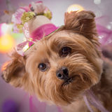 Yorkie Dog wearing flowered top hat Stock Images