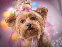 Yorkie Dog wearing flowered top hat. Yorkie looks into camera with St Patricks Day clothing and a pot full of gold and bagpipe. Ready for a parade stock photos