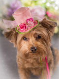 Yorkie wearing flowered top hat. Yorkie wearing pink flowered top hat with stock images