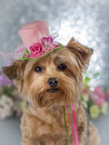 Yorkie wearing flowered top hat. Small Yorkshire terrier wearing flowered hat with sparkle background stock image